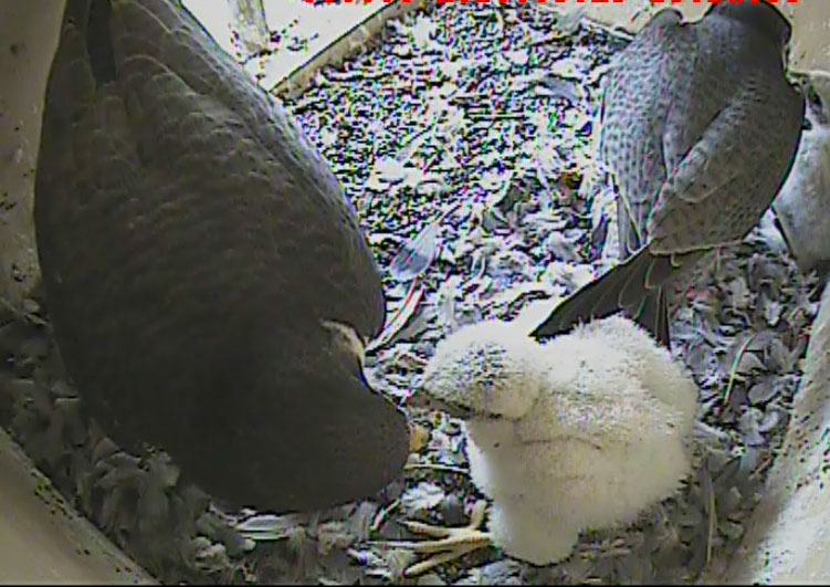 Falcon-cam update