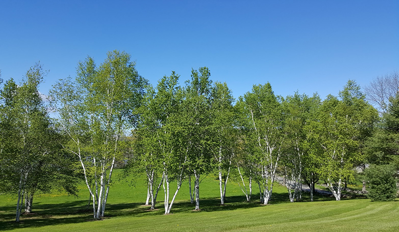 A line of Birch trees